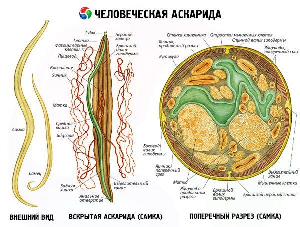 Menschliche Ascaris: Struktur und Lebenszyklus | Kompetent über ...