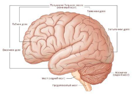 Gehirn | Kompetent über Gesundheit auf iLive