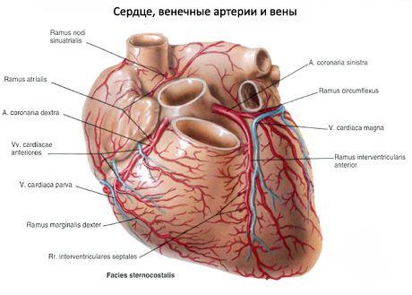 Blut- und Lymphgefäße des Herzens | Kompetent über Gesundheit auf iLive