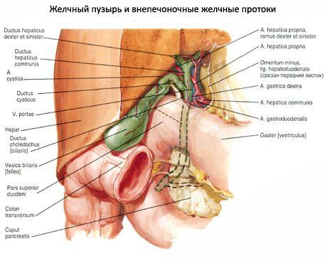 Gallenblase | Kompetent über Gesundheit auf iLive