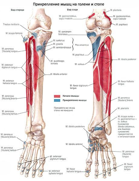 Muskeln des Unterschenkels | Kompetent über Gesundheit auf iLive