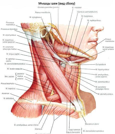 Brust-Schlüsselbein-Mastoid-Muskel | Kompetent über Gesundheit auf iLive
