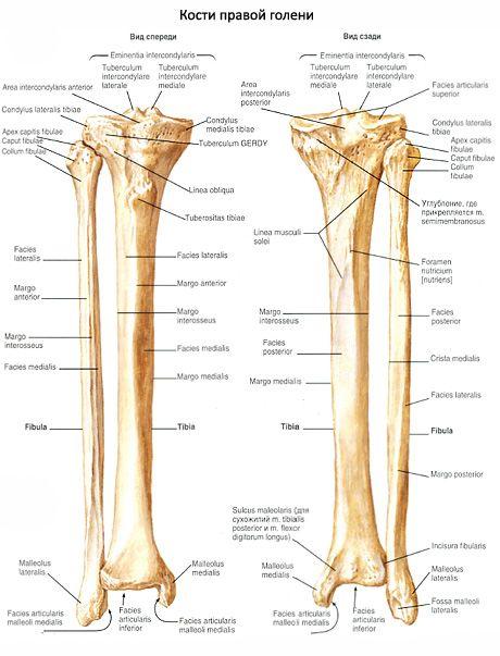 Shin Knochen | Kompetent über Gesundheit auf iLive
