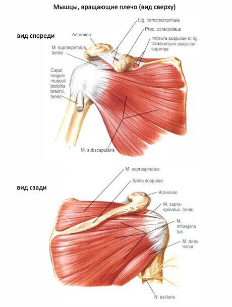 Muskuläre und subakute Muskeln   Kompetent über Gesundheit auf iLive
