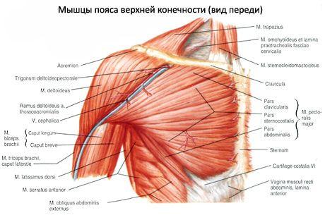 Muskeln der Brust | Kompetent über Gesundheit auf iLive