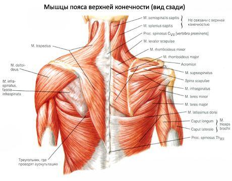 Kleine und große runde Muskeln | Kompetent über Gesundheit auf iLive