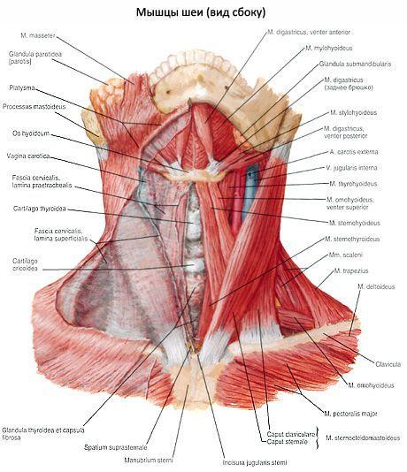 Nackenmuskeln | Kompetent über Gesundheit auf iLive