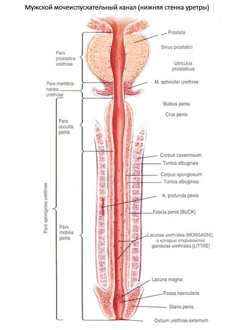 Männliche Harnröhre | Kompetent über Gesundheit auf iLive