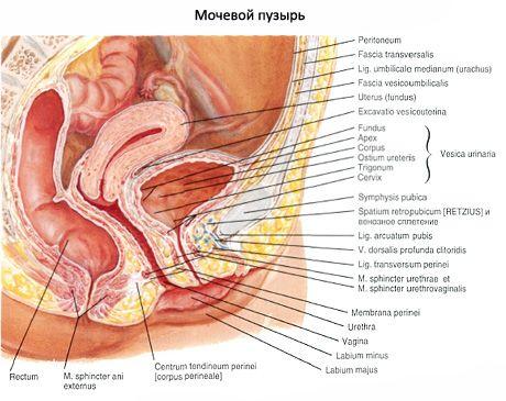Blase | Struktur und Anatomie der Blase | Kompetent über Gesundheit ...