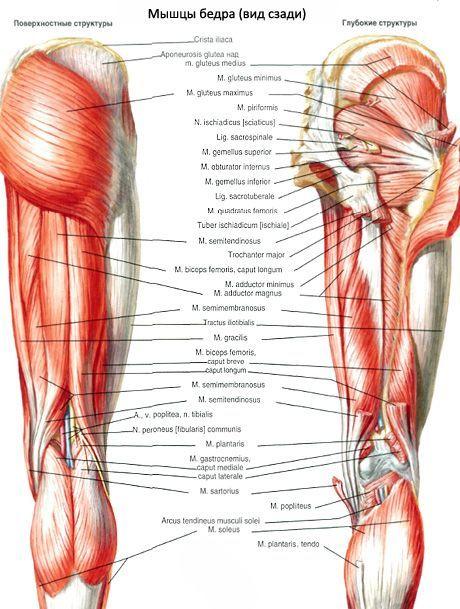 Muskeln der Hüfte | Kompetent über Gesundheit auf iLive