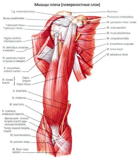 Muskeln der Schulter | Kompetent über Gesundheit auf iLive
