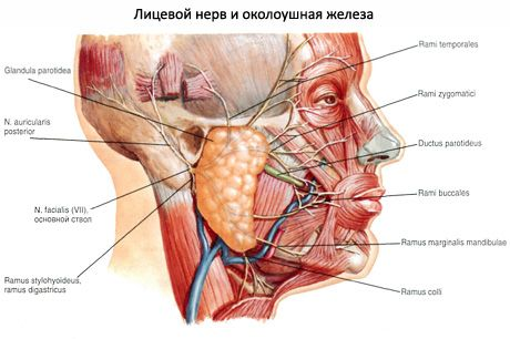 Parotis Speicheldrüse | Kompetent über Gesundheit auf iLive