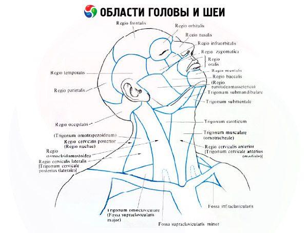 Bereiche und Dreiecke des Halses | Kompetent über Gesundheit auf iLive
