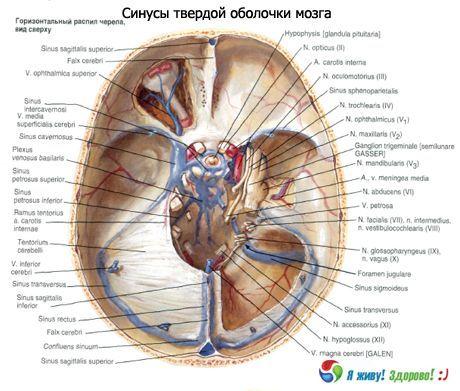 Muscheln des Gehirns | Kompetent über Gesundheit auf iLive