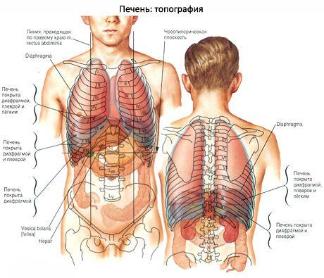 Die Leber | Kompetent über Gesundheit auf iLive