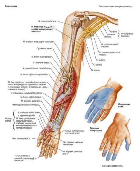 Plexus brachialis | Kompetent über Gesundheit auf iLive