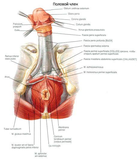 Sexueller Penis | Kompetent über Gesundheit auf iLive