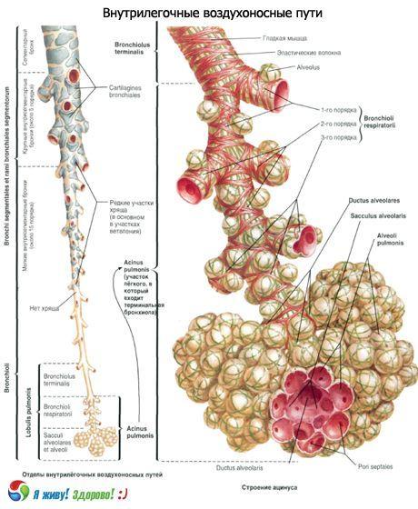 Atmungssystem von Bronchien | Kompetent über Gesundheit auf iLive