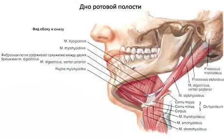 Die Mundhöhle (Cavitas oris) | Kompetent über Gesundheit auf iLive