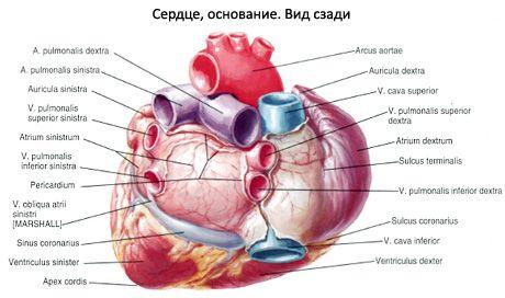 Herz | Kompetent über Gesundheit auf iLive