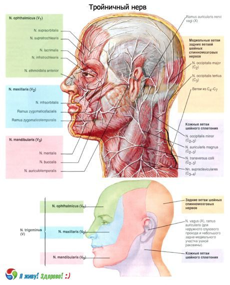 Ternärer Nerv | Kompetent über Gesundheit auf iLive