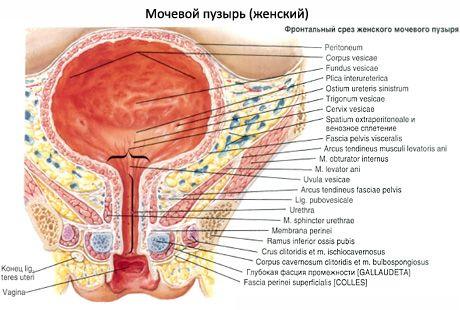 Weibliche Harnröhre | Kompetent über Gesundheit auf iLive